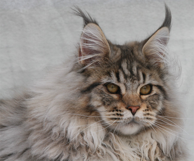 Relaxing Tigers Maine Coon
